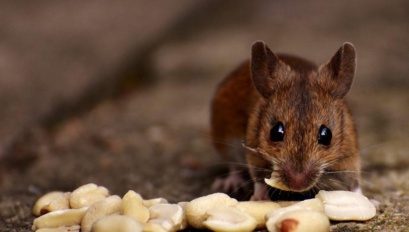 best mice exterminator phoenix az